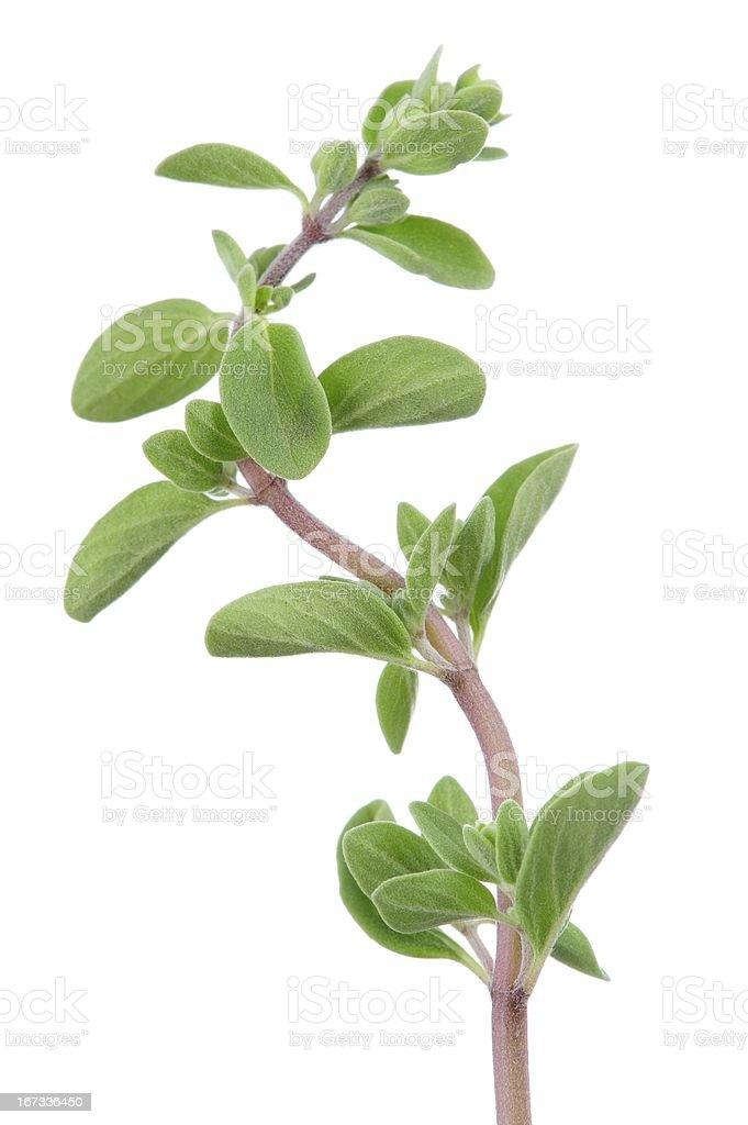 Marjoram Herb on White Background royalty-free stock photo