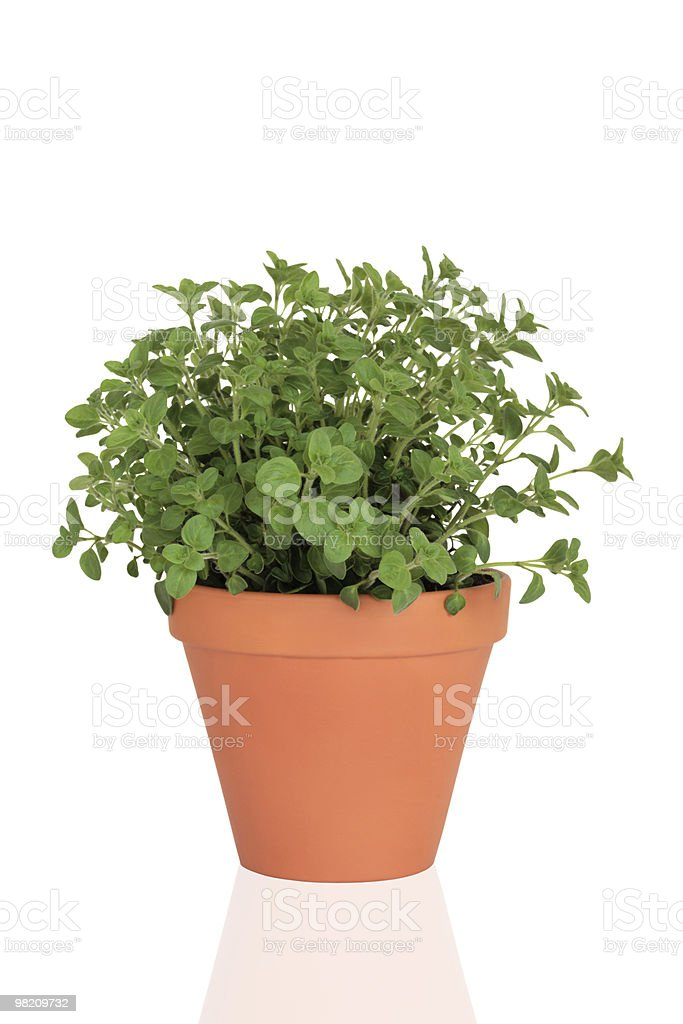 Marjoram Herb Plant royalty-free stock photo