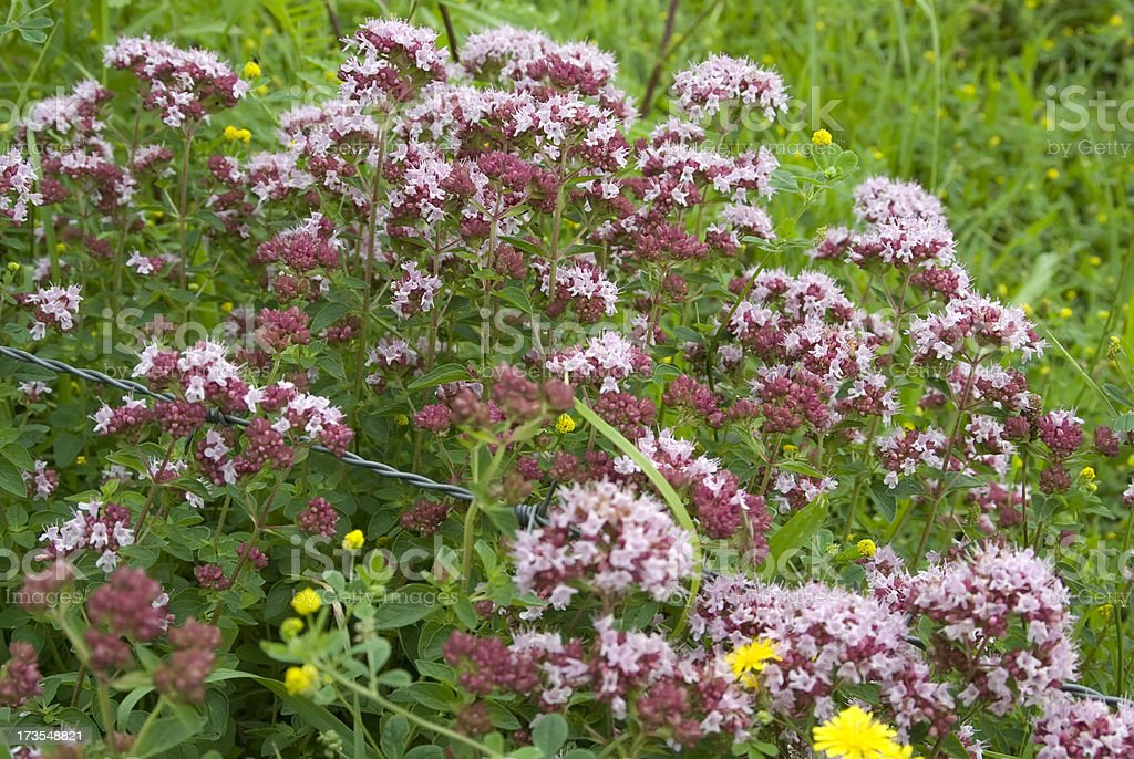 Marjoram (Origanum vulgare) royalty-free stock photo
