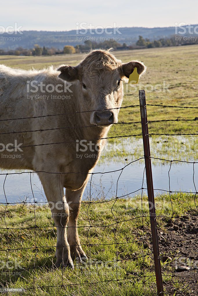 Market Beef Calf royalty-free stock photo
