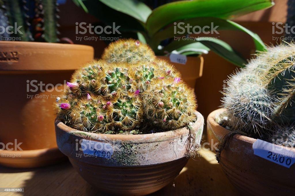 Kaktus roślin rynku zbiór zdjęć royalty-free