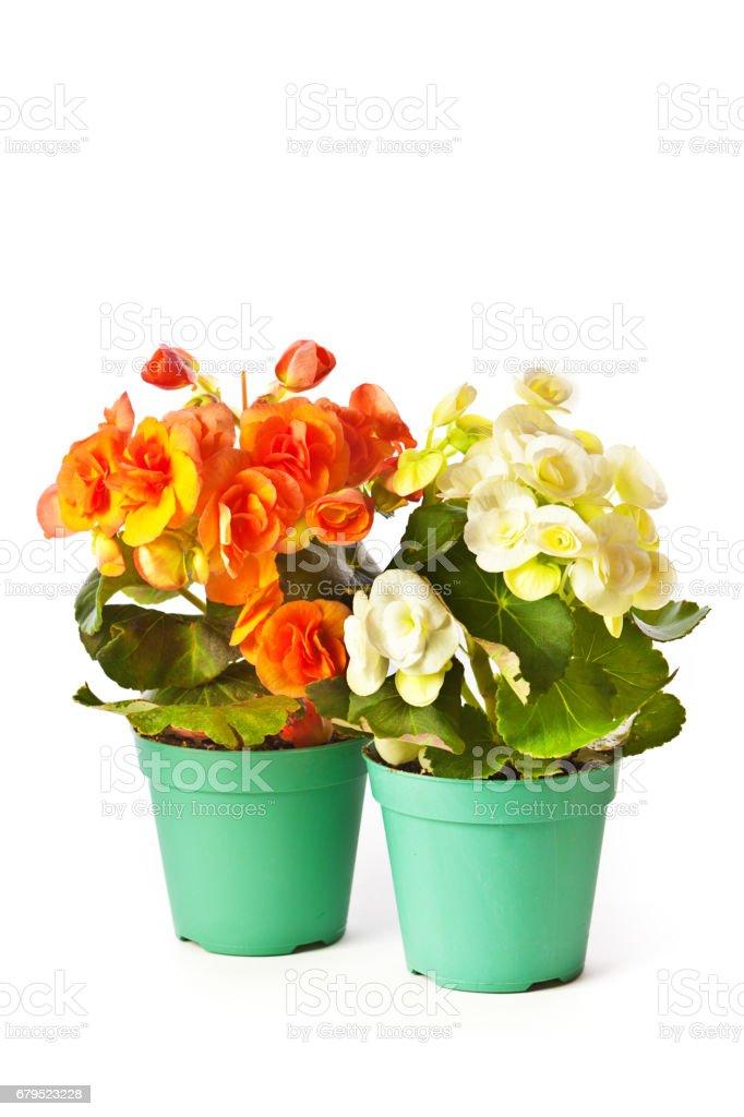 Markt werd Begonia bloem in detailhandel Plastic verpakkingen foto
