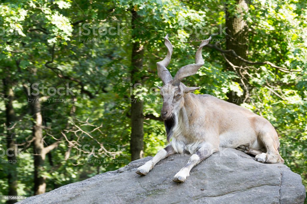 Markhor resting on a rock stock photo
