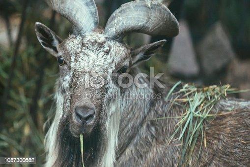 Animal, Fur, Horn, Rare