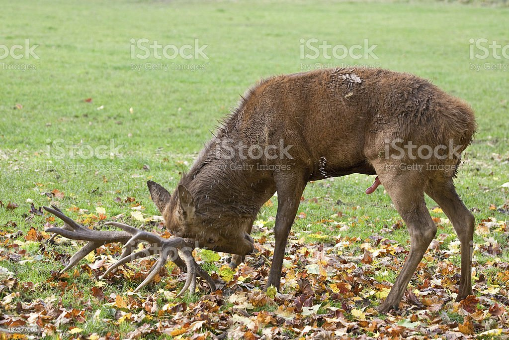 Marking Stag stock photo