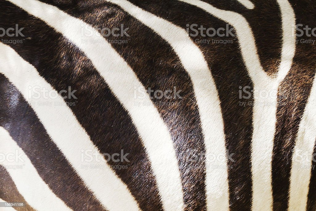 Markings of a zebra royalty-free stock photo