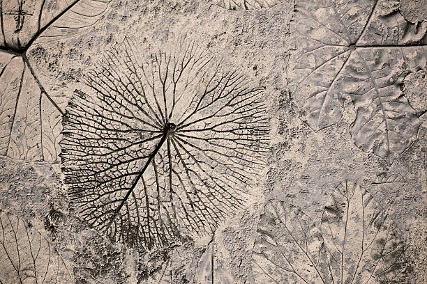marks of leaf on the concrete pavement - fossil stock photos and pictures
