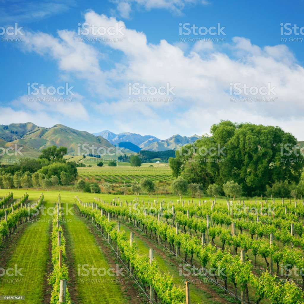 Marlborough Vineyard New Zealand stock photo