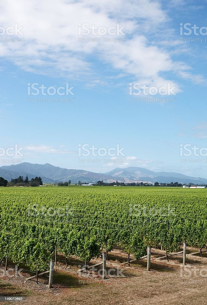 Marlborough vineyard royalty-free stock photo