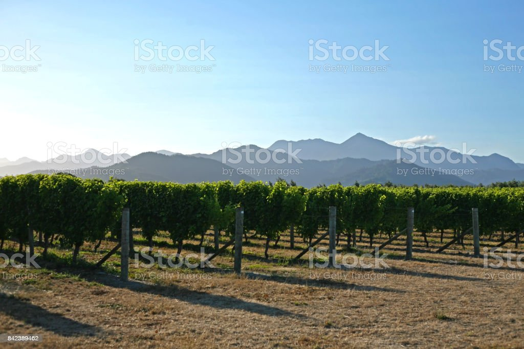 Marlborough Vineyards stock photo