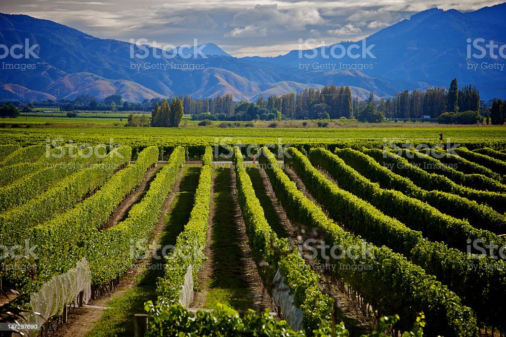 Marlborough Wine Crop royalty-free stock photo