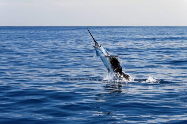 Marlin sailfish, pacific ocean, Costa Rica stock photo