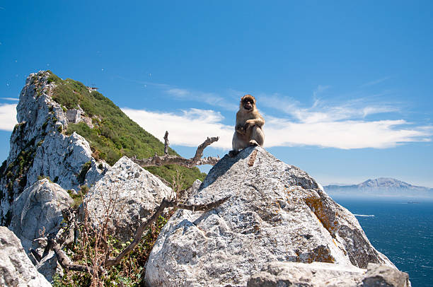 Marmoset in Rock of Gibraltar A marmoset is standing on a rock. On the background, on the left the Rock of Gibraltar and, on the right, the Morocco coast. common marmoset stock pictures, royalty-free photos & images
