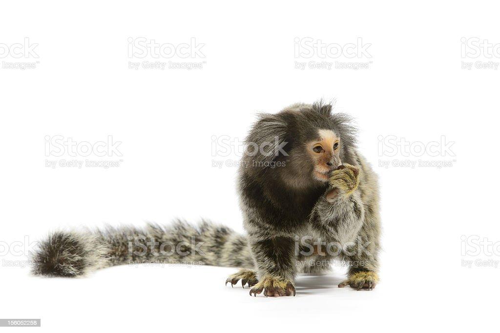 Marmoset Monkey royalty-free stock photo