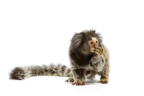 Marmoset Monkey Marmoset monkey on white background marmoset stock pictures, royalty-free photos & images