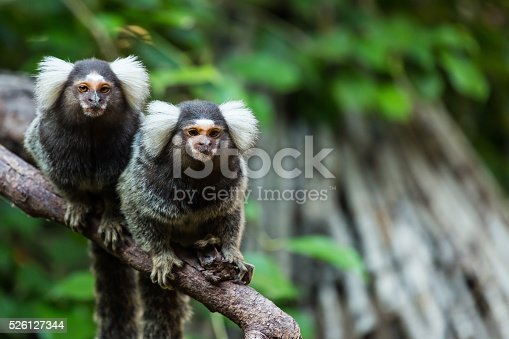 marmoset monkey.
