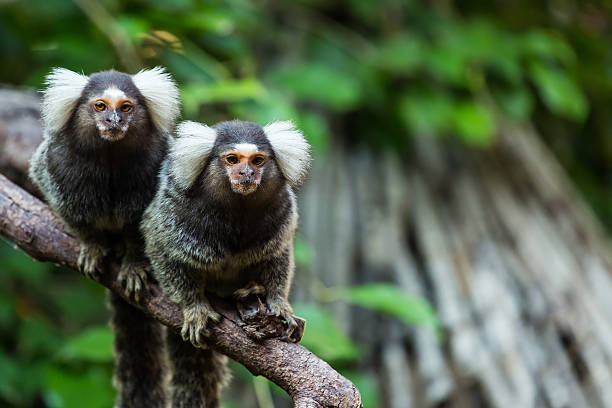 marmoset monkey. marmoset monkey. marmoset stock pictures, royalty-free photos & images