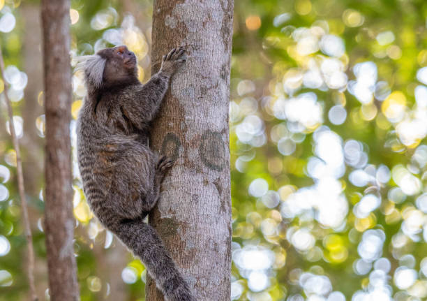 Marmoset on top of a tree on Sugar Loaf trail. Callithrix Jacchus on top of a tree on Sugar Loaf trail, Rio de Janeiro. common marmoset stock pictures, royalty-free photos & images