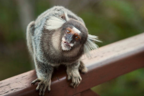 marmoset marmoset looking common marmoset stock pictures, royalty-free photos & images
