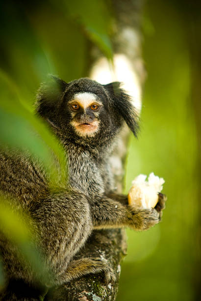 Marmoset  common marmoset stock pictures, royalty-free photos & images