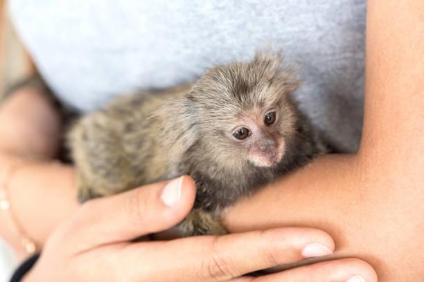 marmosets monkey on the hand. marmosets monkey on the hand. marmoset stock pictures, royalty-free photos & images