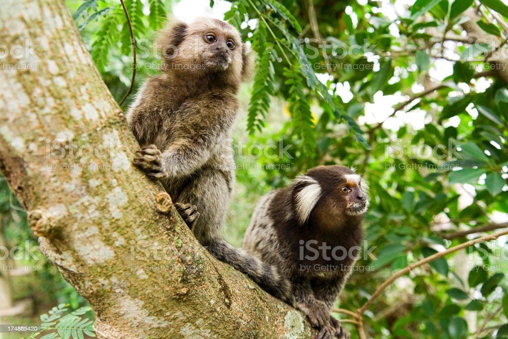 Marmosets on a tree royalty-free stock photo