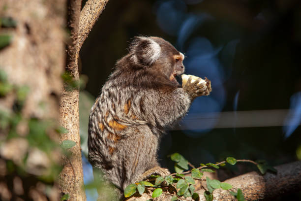 Marmosets Urban marmosets among the trees in the south of the city of São Paulo, Brazil common marmoset stock pictures, royalty-free photos & images