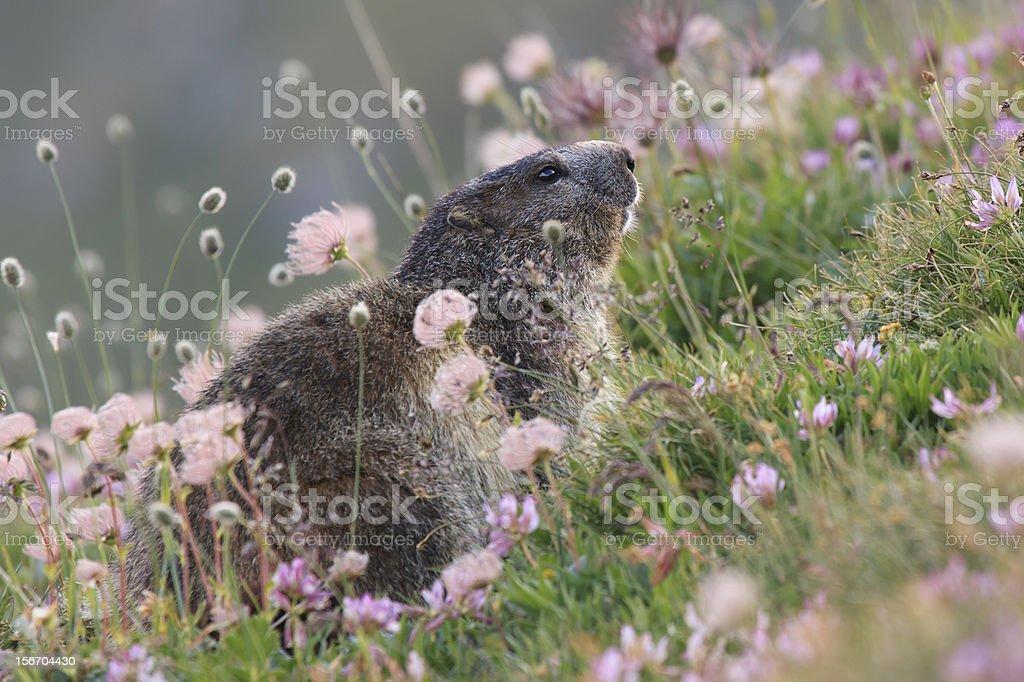 Marmot and flowers,Groundhog stock photo