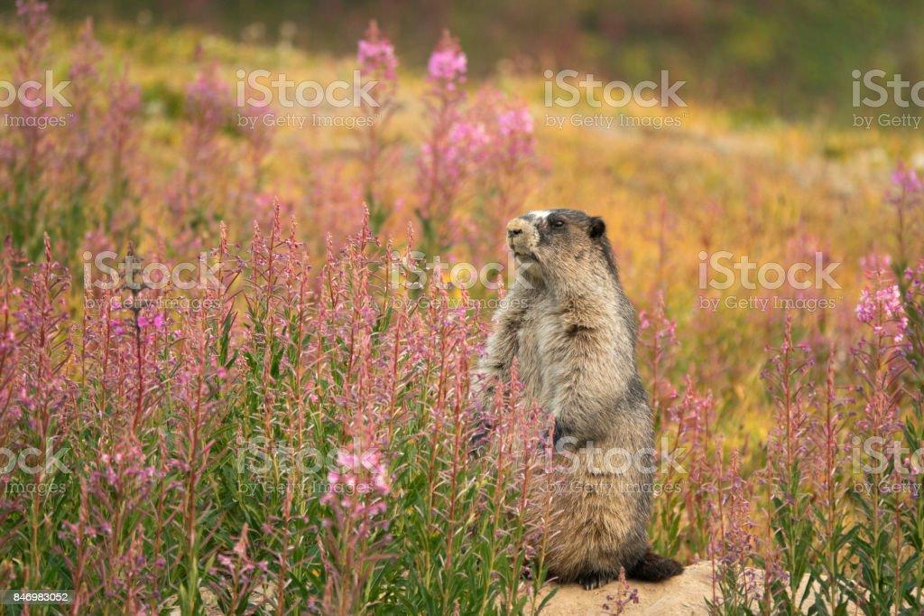 Marmot fireweed Tonquin Valley Jasper National Park Alberta Canada stock photo