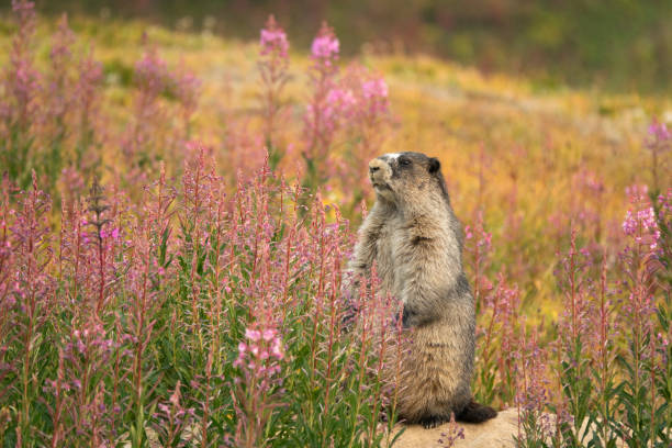 Near Maccarib Pass a chubby, hoary marmot looked out over his front yard filled with fields of pink fireweed.