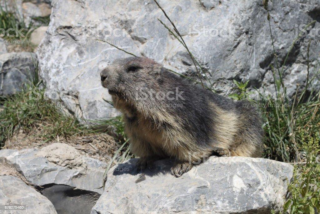 Marmotte de France - Photo
