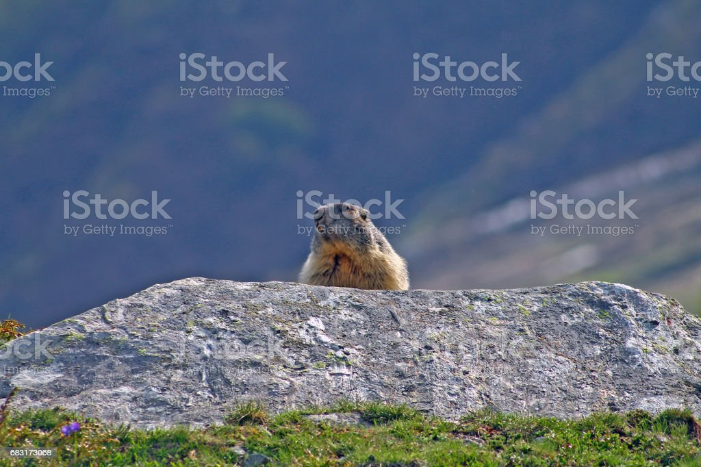 Marmot Groundhog behind a rock 免版稅 stock photo