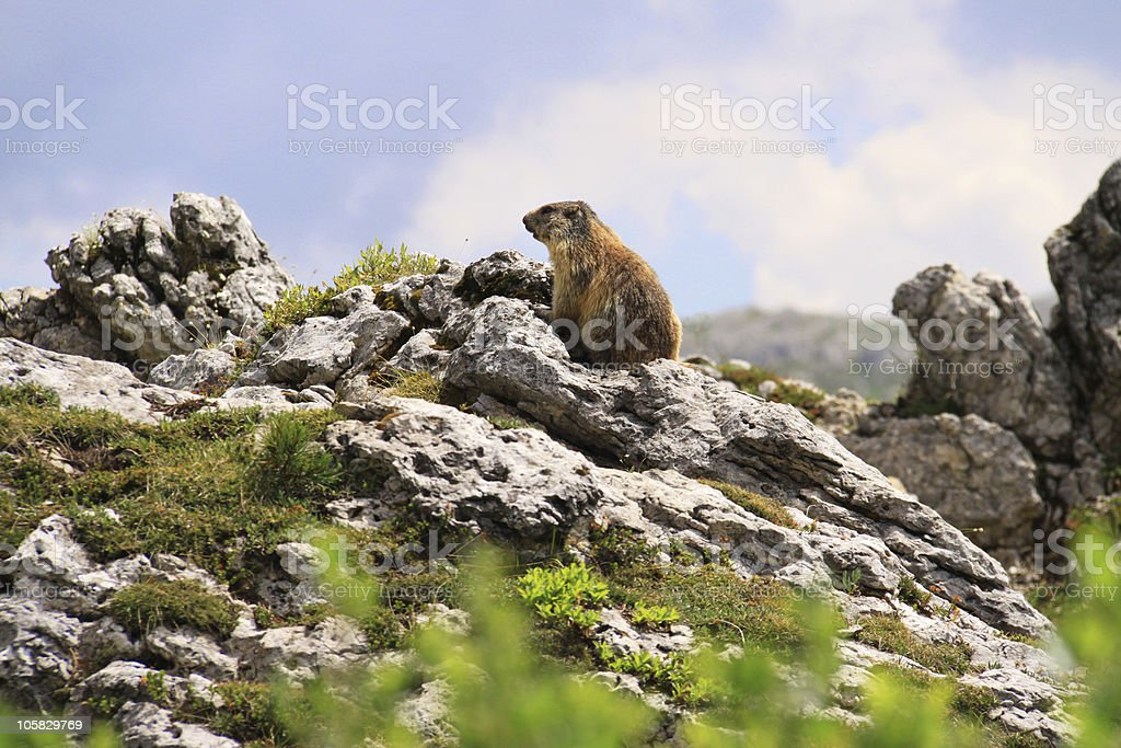 Marmot in detail of Alpine nature royalty-free stock photo