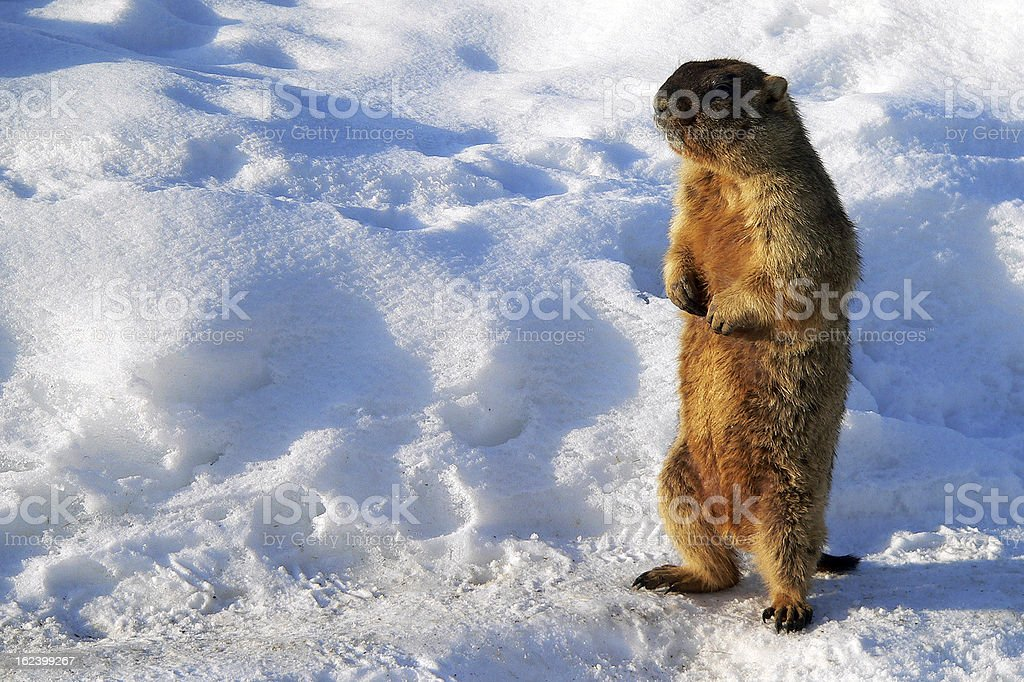 Marmot in early spring stock photo