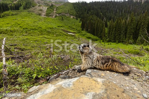 Marmot of the Rocky Mountains in Canada