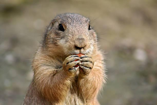 Marmotta - foto stock