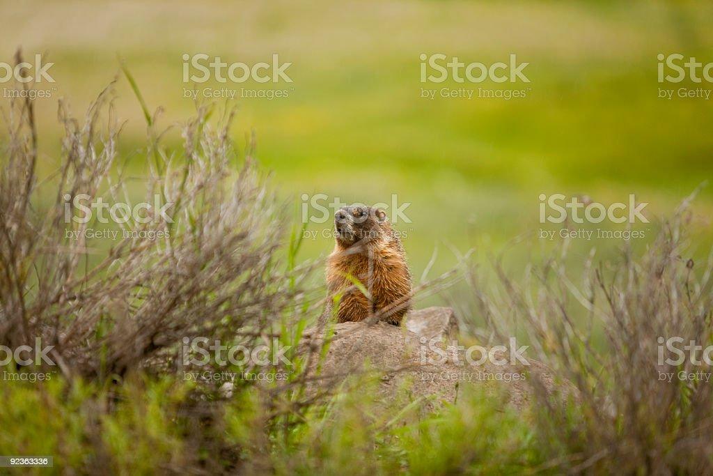 Marmot royalty-free stock photo