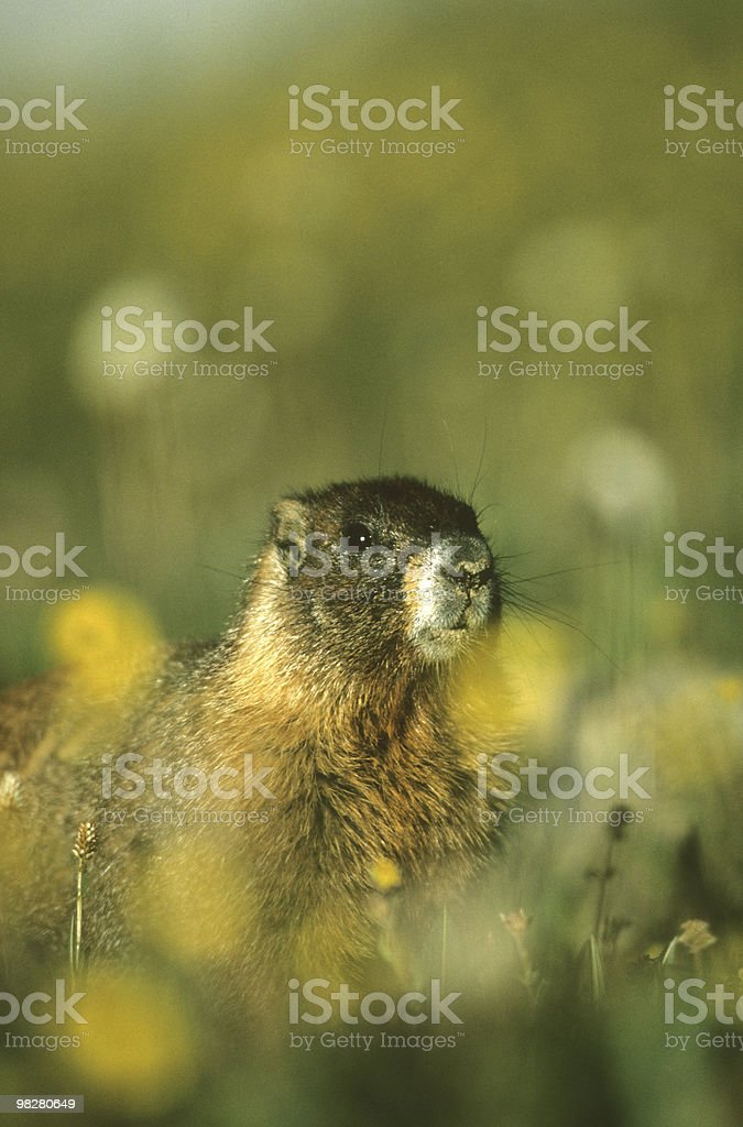 Marmot Portrait royalty-free stock photo