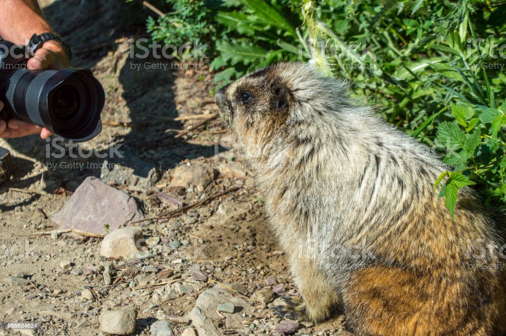Marmot proudly posing for a photographer stock photo