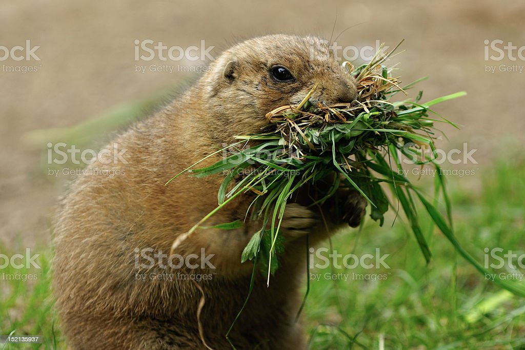 Marmot with Food stock photo