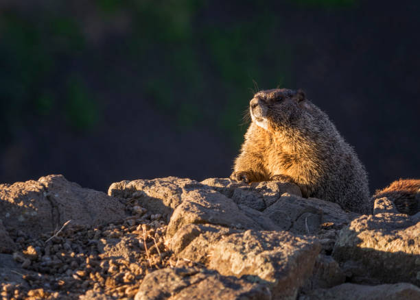 Marmots on a cliff stock photo