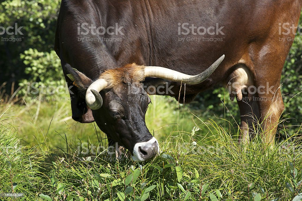 'Maronesa' cow, a regional cattle breed from Portugal royalty-free stock photo