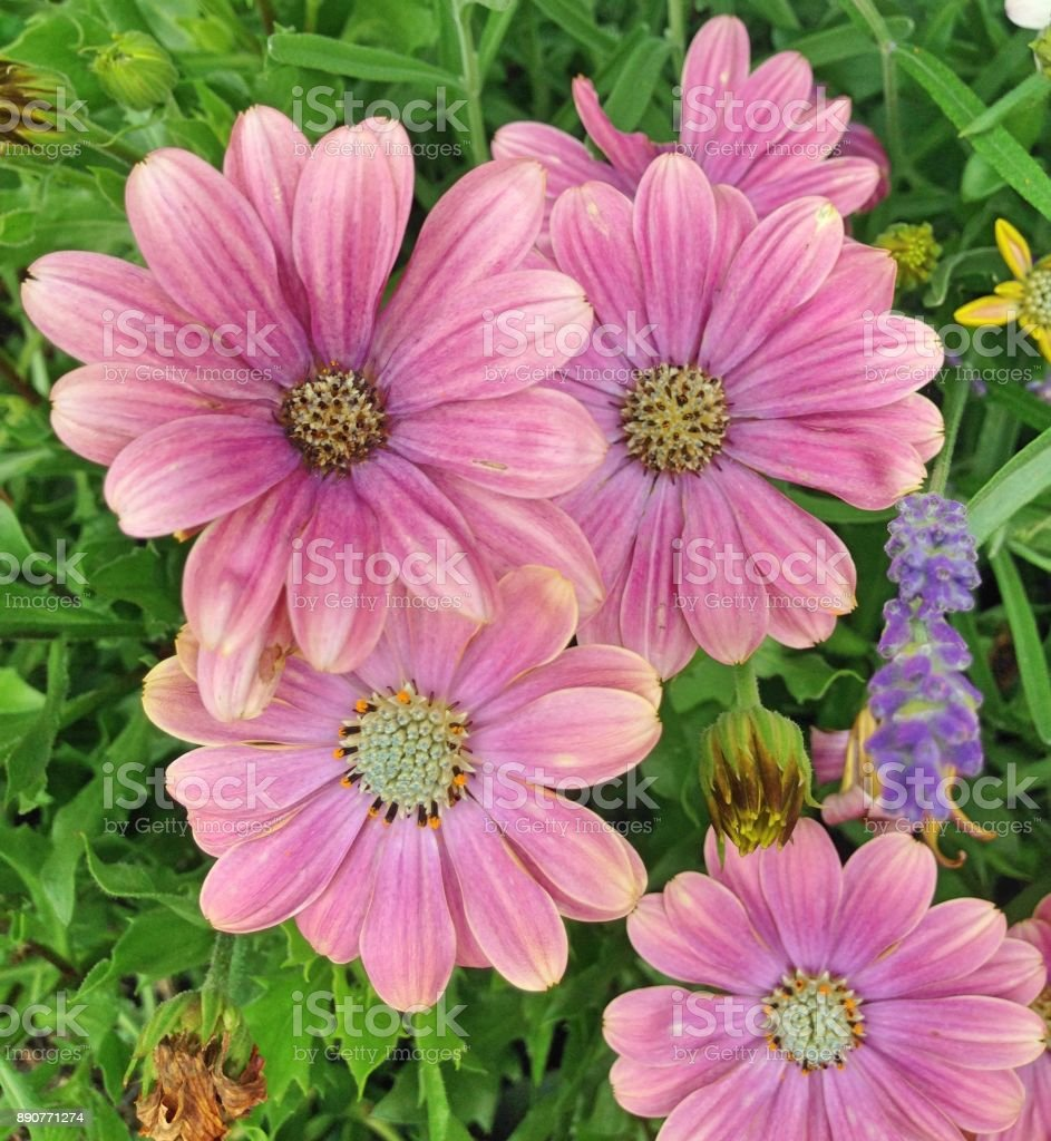 Maroon Cape Marguerite Daisy Flowers Stock Photo More Pictures Of