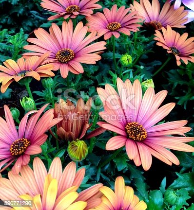 a floral display of maroon-pink colored Cape Marguerite Daisy flowers in bloom during summer