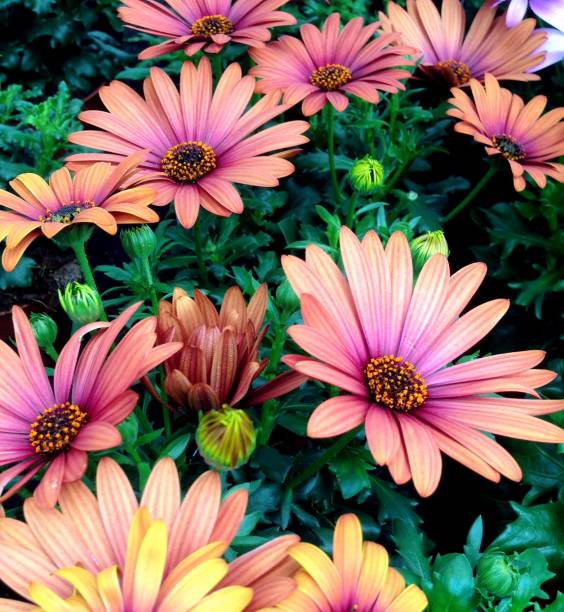 maroon Cape Marguerite Daisy flowers