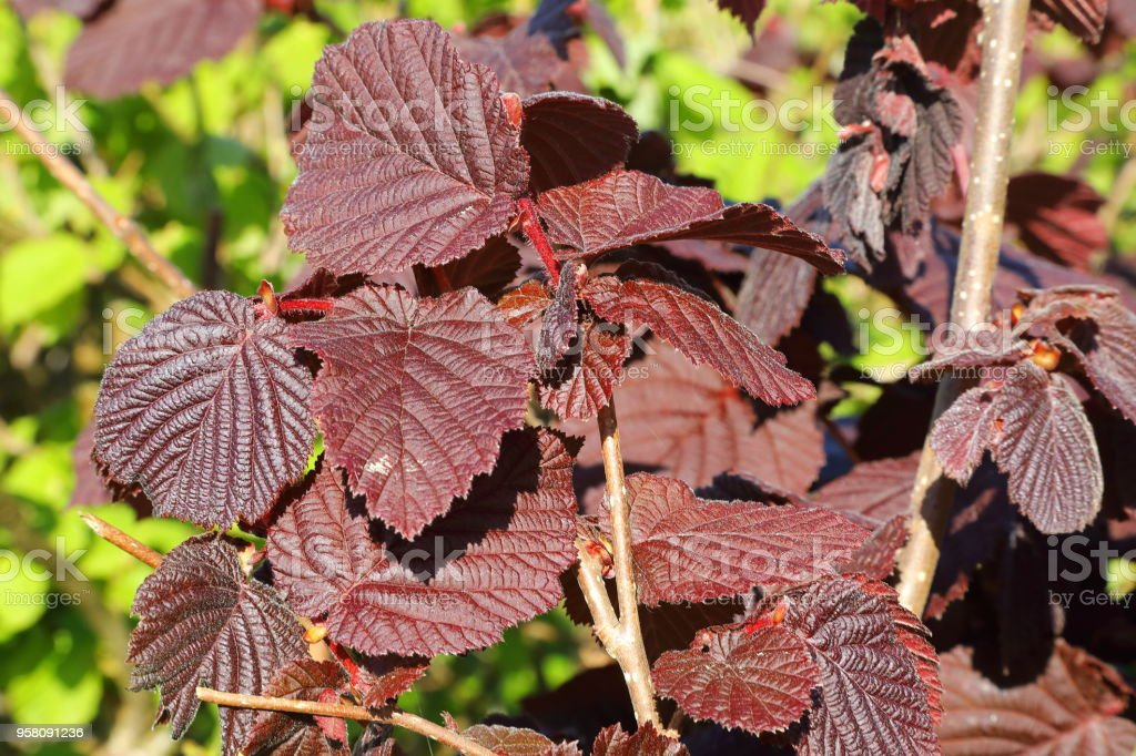 Maroon leaf of hazel stock photo