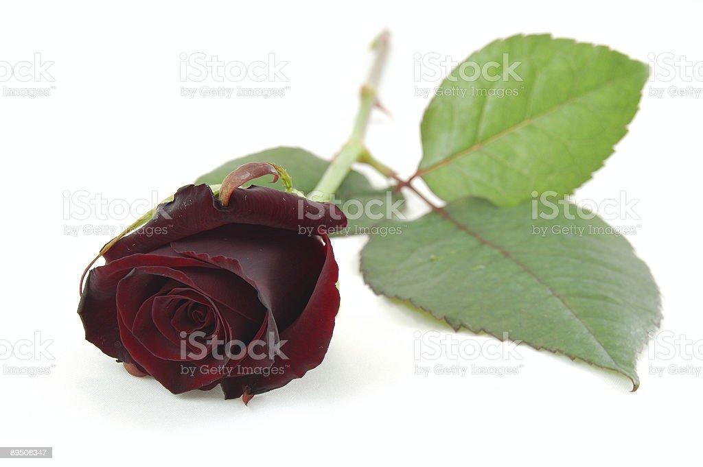 Maroon rose photo libre de droits