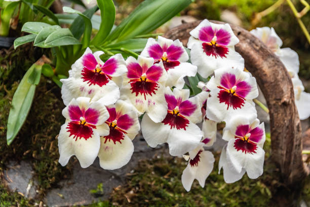 Maroon , Yellow and White Orchids stock photo