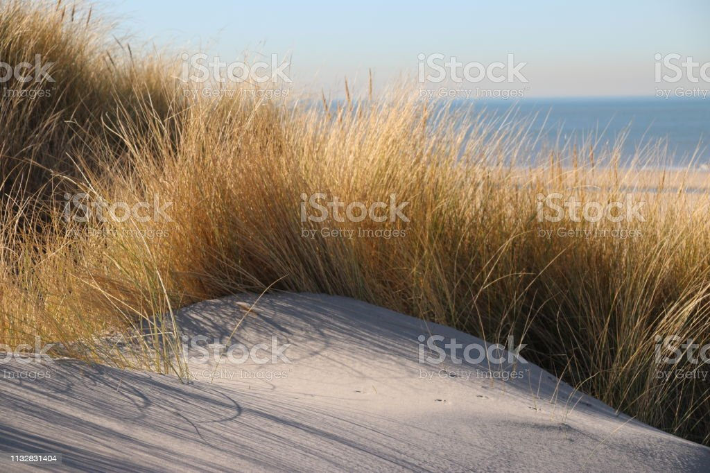 helmgras in de zon aan de duinen langs de Noordzeekust in Nederland foto