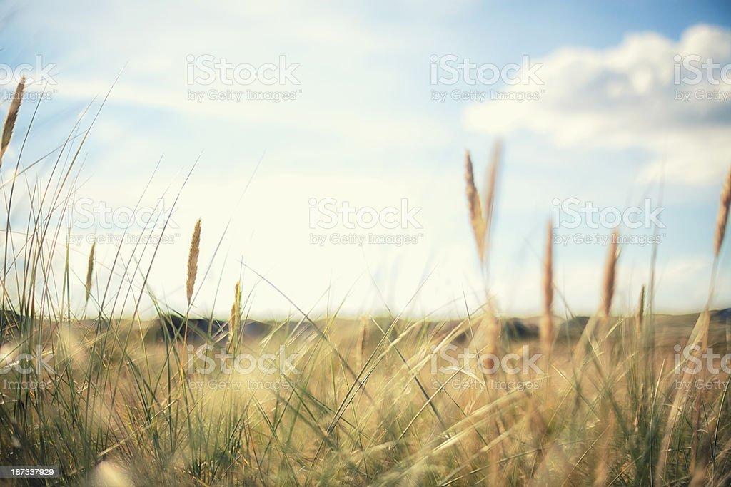 Marram grass royalty-free stock photo